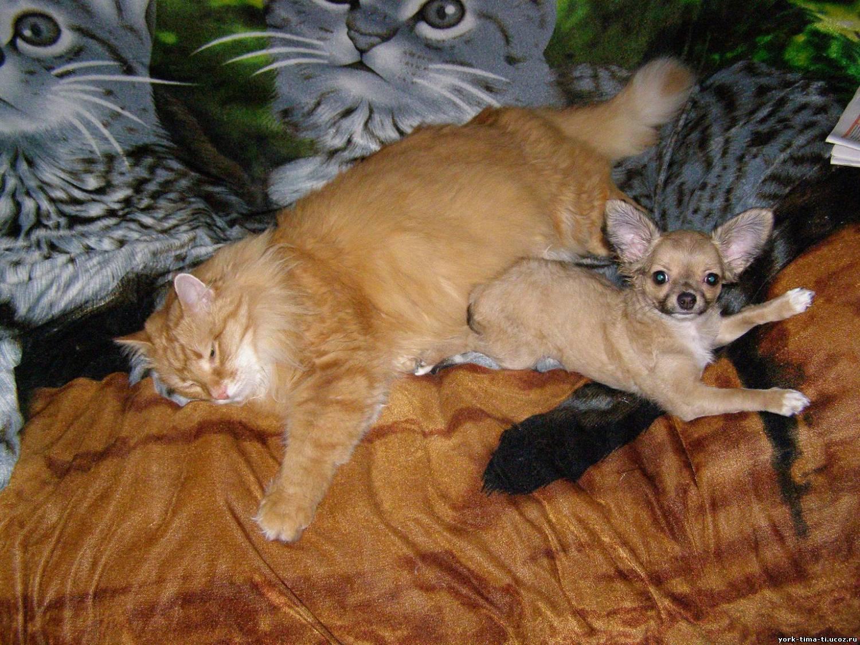 как познакомить кошку с щенком если кошка шипит